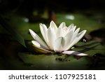 white nymphaea  nymphaea alba l.... | Shutterstock . vector #1107925181