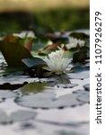 white nymphaea  nymphaea alba l.... | Shutterstock . vector #1107926279