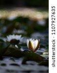 white nymphaea  nymphaea alba l.... | Shutterstock . vector #1107927635