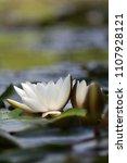 white nymphaea  nymphaea alba l.... | Shutterstock . vector #1107928121