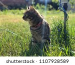 outdoor close up tabby cat with ... | Shutterstock . vector #1107928589