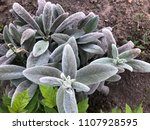 stachys  natural lush plants... | Shutterstock . vector #1107928595