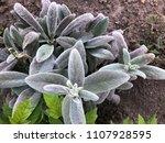 stachys  natural lush plants... | Shutterstock . vector #1107928595