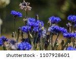 close up beautiful blue... | Shutterstock . vector #1107928601