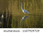 the great egret with fish.... | Shutterstock . vector #1107929729