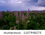 field of clary sage after storm ... | Shutterstock . vector #1107948275