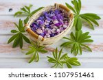 the petals of a blooming lupine.... | Shutterstock . vector #1107951461