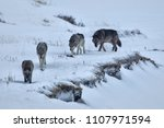 gray wolf taken in yellowstone... | Shutterstock . vector #1107971594