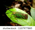 green spotted lanternfly and...   Shutterstock . vector #1107977885