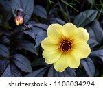 A Beautiful Bright Yellow...