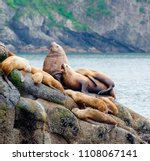 large steller sea lion with...