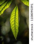 green leaves call cheria...   Shutterstock . vector #1108090391