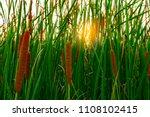 Typha Angustifolia Field. Gree...