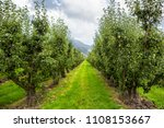 pear tree orchard on a...   Shutterstock . vector #1108153667