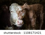 cow and calf photographed on my ... | Shutterstock . vector #1108171421