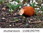 ruddy shelduck  tadorna... | Shutterstock . vector #1108190795