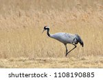 common crane  grus grus   on... | Shutterstock . vector #1108190885