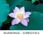 lotus flower blooming in summer ... | Shutterstock . vector #1108221311