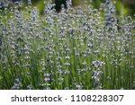 blooming lavender background | Shutterstock . vector #1108228307