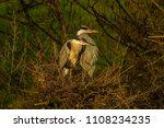 grey heron  ardea cinerea ... | Shutterstock . vector #1108234235