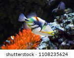 Coral Fish White Banded...