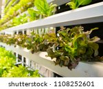 hydroponic plant in indoor... | Shutterstock . vector #1108252601