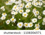 beautiful white yellow...   Shutterstock . vector #1108306571