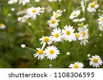 beautiful field with white...   Shutterstock . vector #1108306595
