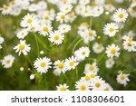 chamomile flowers field  in sun ...   Shutterstock . vector #1108306601