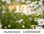chamomile flowers in beautiful... | Shutterstock . vector #1108306604
