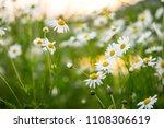 beautiful daisy flower in the...   Shutterstock . vector #1108306619