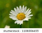 nature images   daisy flower...   Shutterstock . vector #1108306655