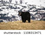A Black Bear On A Hill