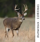 trophy whitetail buck deer... | Shutterstock . vector #110833661