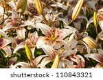 White Lily Flower Background in park - stock photo