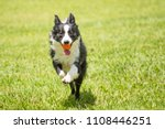 Dog Border Collie Running With...
