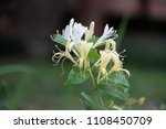 Small photo of Honeysuckle, Lonicera, Dipsacales