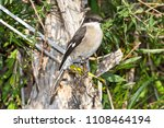 fiscal flycatcher perched on... | Shutterstock . vector #1108464194