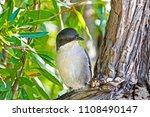 fiscal flycatcher on branch in... | Shutterstock . vector #1108490147