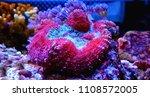 lobophylia large stony coral... | Shutterstock . vector #1108572005