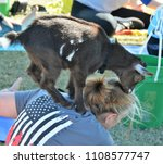 Small photo of Bennett, CO, USA. May 27, 2018. Unidentified woman and goat participating in a new fad called Goat Yoga. This is people doing yoga while goats climb all over them.