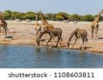 giraffe  giraffa  am wasserloch ...   Shutterstock . vector #1108603811