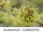 flowering witch hazel  ... | Shutterstock . vector #1108632701