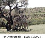 south african giraffe wedding... | Shutterstock . vector #1108766927