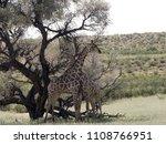 south african giraffe wedding... | Shutterstock . vector #1108766951