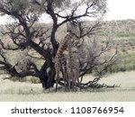 south african giraffe wedding... | Shutterstock . vector #1108766954