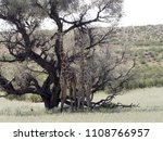 south african giraffe wedding... | Shutterstock . vector #1108766957