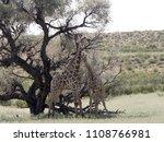 south african giraffe wedding... | Shutterstock . vector #1108766981