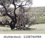 south african giraffe wedding... | Shutterstock . vector #1108766984