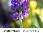 the blue lupine growing in a... | Shutterstock . vector #1108776119